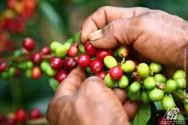 Consciente de la grave crisis cafetera  Gobierno anuncia $100 mil millones en apoyos directos al precio interno de café