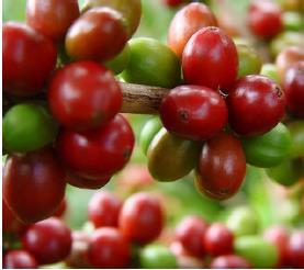 En últimos 12 meses producción registrada supera 14 millones de sacos  Producción de café de Colombia crece 6% en mayo