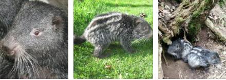 Corpocaldas liberará 15 pacaranas en la Reserva Forestal Torre IV