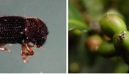 Cenicafé publica secuencia completa del genoma de la broca del café